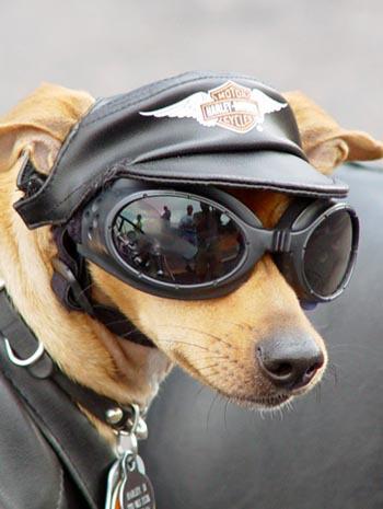 harley-dog